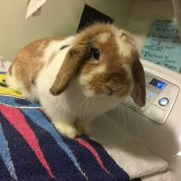 Holland Lop Rabbits for sale in Centereach, NY, USA. price: NA