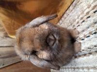 Holland Lop Rabbits for sale in Douglas, MA 01516, USA. price: NA
