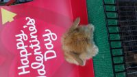 Holland Lop Rabbits for sale in 4740 Hamner Ave, Eastvale, CA 91752, USA. price: NA