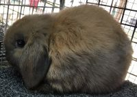 Holland Lop Rabbits for sale in Austin, TX, USA. price: NA