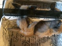Holland Lop Rabbits for sale in North Olmsted, OH, USA. price: NA