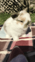 Holland Lop Rabbits for sale in Evans, GA, USA. price: NA