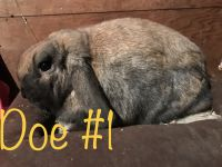 Holland Lop Rabbits for sale in New Carlisle, OH 45344, USA. price: NA