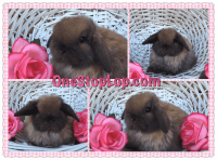 Holland Lop Rabbits for sale in San Jose, CA, USA. price: NA