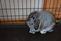Holland Lop Rabbits for sale in Delaware, OH 43015, USA. price: NA