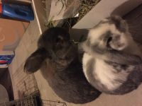 Holland Lop Rabbits for sale in Erie, PA, USA. price: NA