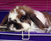 Holland Lop Rabbits for sale in Hughesville, MD, USA. price: NA