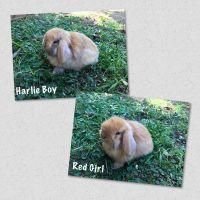 Holland Lop Rabbits for sale in Brea, CA, USA. price: NA