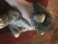 Holland Lop Rabbits for sale in Coxsackie, NY, USA. price: NA