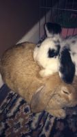 Holland Lop Rabbits for sale in Plainfield, NJ, USA. price: NA