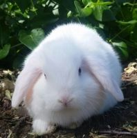 Holland Lop Rabbits for sale in Oroville, CA, USA. price: NA