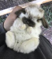 Holland Lop Rabbits for sale in Lancaster, SC 29720, USA. price: NA