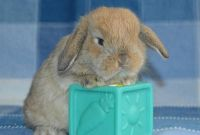 Holland Lop Rabbits for sale in Warsaw, NY 14569, USA. price: NA