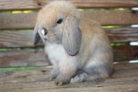 Holland Lop Rabbits for sale in Boonville, NC 27011, USA. price: NA