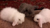 Holland Lop Rabbits for sale in Lynbrook, NY 11563, USA. price: NA