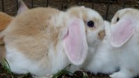 Holland Lop Rabbits for sale in Youngsville, NC 27596, USA. price: NA