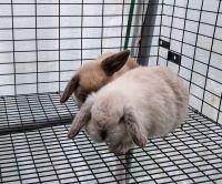 Holland Lop Rabbits for sale in 40 Pruitt Rd, Alpharetta, GA 30004, USA. price: NA