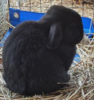 Holland Lop Rabbits for sale in Gaston County, NC, USA. price: NA