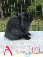 Holland Lop Rabbits for sale in Reidsville, NC 27320, USA. price: NA