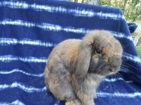 Holland Lop Rabbits for sale in Floral City, FL 34436, USA. price: NA