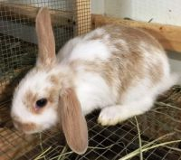 Holland Lop Rabbits for sale in Alvin, TX, USA. price: NA
