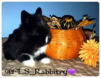 Holland Lop Rabbits for sale in Howell, NJ 07731, USA. price: NA