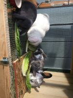 Holland Lop Rabbits for sale in Kenai, AK, USA. price: NA