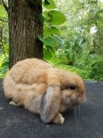 Holland Lop Rabbits for sale in Lakeland, FL, USA. price: NA
