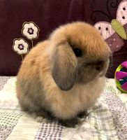 Holland Lop Rabbits for sale in Pine Beach, NJ 08741, USA. price: NA