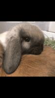Holland Lop Rabbits for sale in Escondido, CA, USA. price: NA