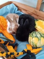 Holland Lop Rabbits for sale in North Ridgeville, OH, USA. price: NA