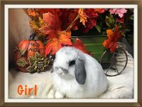 Holland Lop Rabbits for sale in Torrance, CA 90505, USA. price: NA