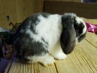 Holland Lop Rabbits for sale in Clear Brook, VA 22624, USA. price: NA