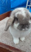 Holland Lop Rabbits for sale in Dade City, FL, USA. price: NA