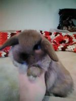 Holland Lop Rabbits for sale in Blanch, NC 27212, USA. price: NA