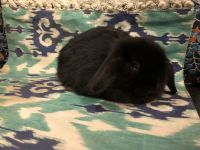 Holland Lop Rabbits for sale in Norco, CA, USA. price: NA