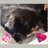 Holland Lop Rabbits for sale in Cypress, TX, USA. price: NA