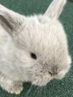 Holland Lop Rabbits for sale in Hawthorne, NY, USA. price: NA