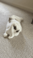 Holland Lop Rabbits for sale in Frederick, MD, USA. price: NA