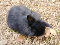 Holland Lop Rabbits for sale in Newberry, SC 29108, USA. price: NA