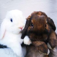 Holland Lop Rabbits for sale in Riverside, CA 92503, USA. price: NA