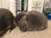 Holland Lop Rabbits for sale in Deptford Township, NJ, USA. price: NA