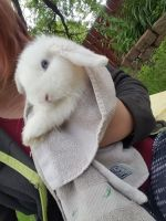 Holland Lop Rabbits for sale in Maplewood, MN, USA. price: NA