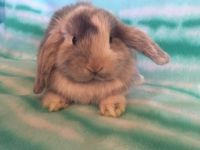 Holland Lop Rabbits for sale in Monterey, CA, USA. price: NA
