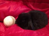 Holland Lop Rabbits for sale in Peculiar, MO 64078, USA. price: NA