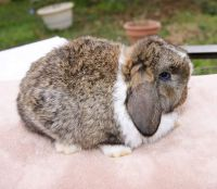 Holland Lop Rabbits for sale in Mooresville, NC 28115, USA. price: NA