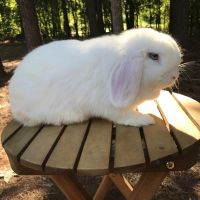 Holland Lop Rabbits for sale in Charlotte, NC, USA. price: NA