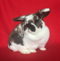 Holland Lop Rabbits for sale in Batavia, OH 45103, USA. price: NA