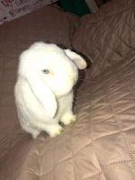 Holland Lop Rabbits for sale in New York, NY, USA. price: NA