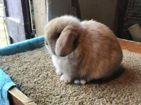 Holland Lop Rabbits for sale in 22 Bridge St, Wilbraham, MA 01095, USA. price: NA